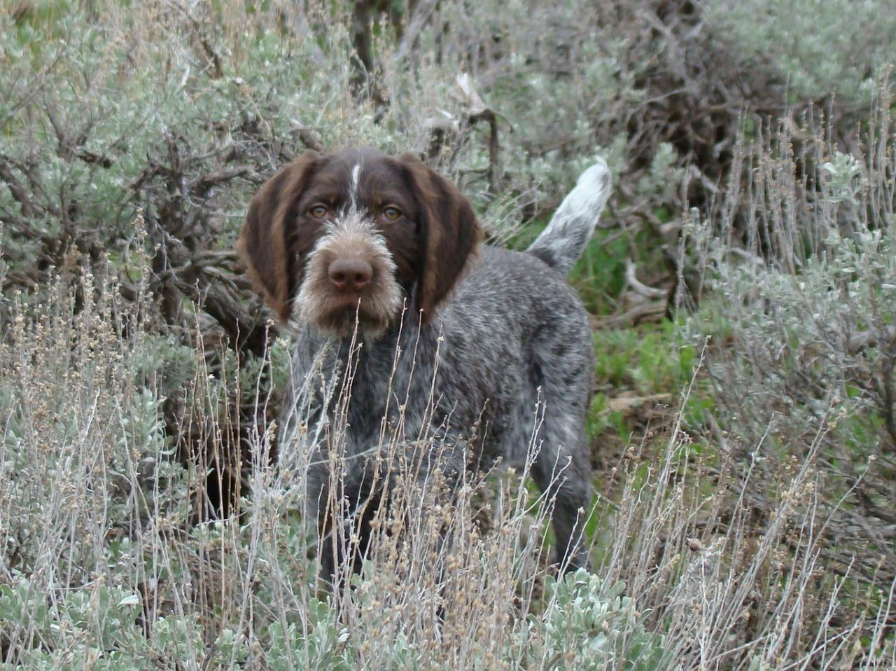 Idawire German Wirehaired Pointers - Our GWPs