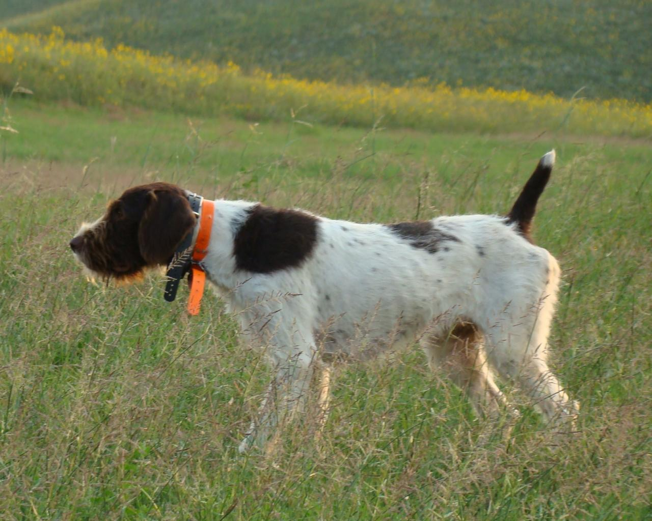 Idawire German Wirehaired Pointers - Stud Dogs