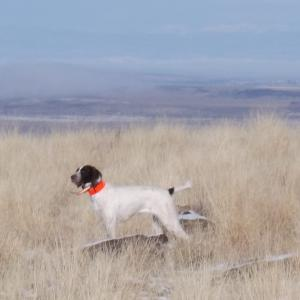 Ziggy on a winter hunt in Idaho